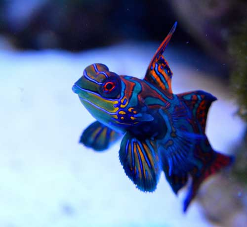 mandarinfish or mandarin goby