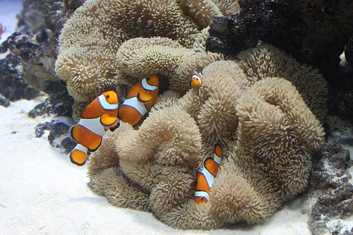 Clownfish use sense of smell to find their way back home