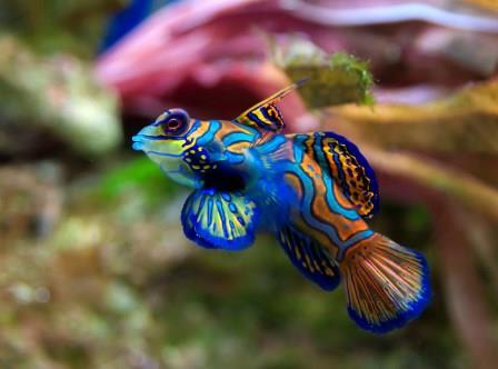 Many mandarin gobies live for about 2-4 years in a home aquarium