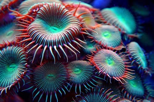 beautiful green zoas coral