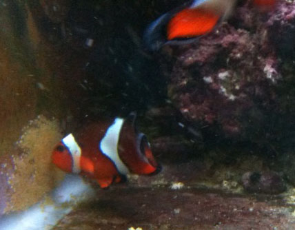 male clownfish cleaning nest