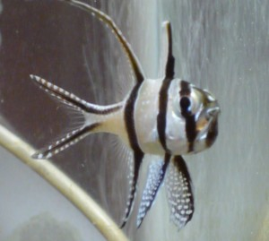breeding the banggai cardinalfish