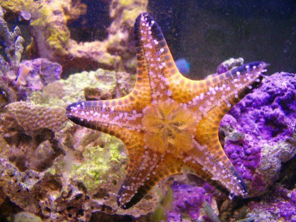 chocolate chip starfish eating