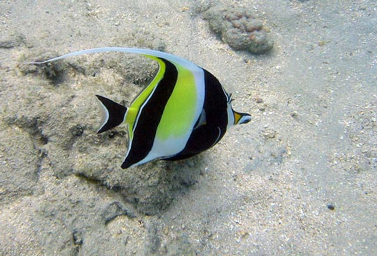 Image of the Moorish Idol