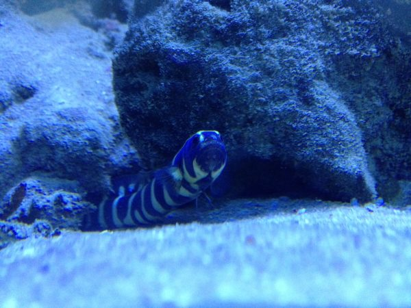 Convict blenny, also known as the engineer goby
