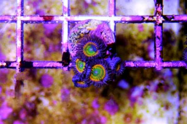 When you frag coral, you fragment them from the parent colony