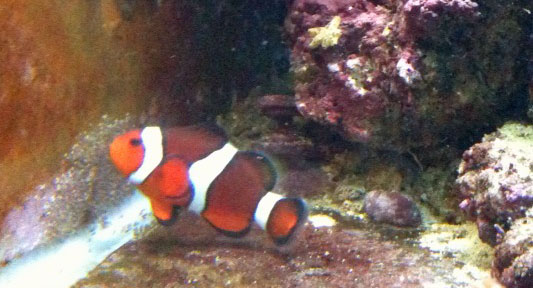 Clownfish male cleaning the eggs