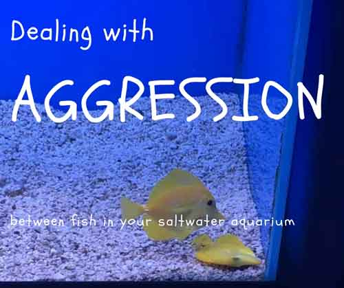 dealing with aggression between fish in a saltwater aquarium