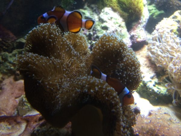 clownfish nesting in a toadstool coral instead of an anemone
