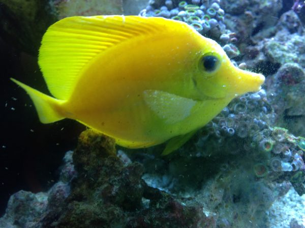 Yellow tang ich