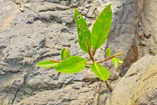 Mangroves can grow in shallow or deep tanks