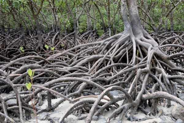 Mangroves are natural filters