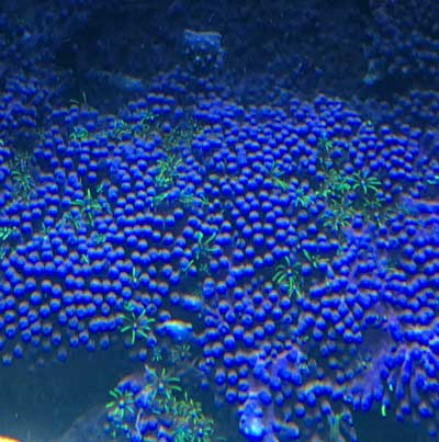 Note the retracted polyps (little purple bumps) from this coral