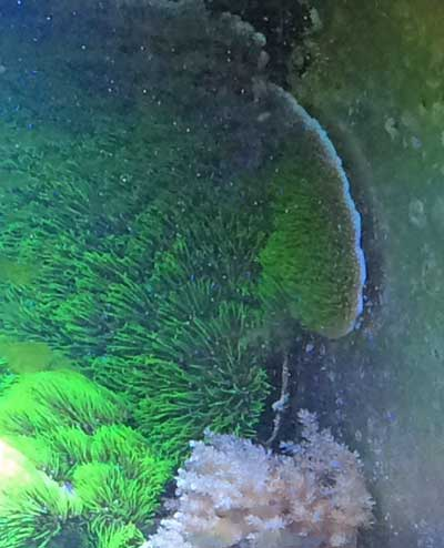 green star polyp care growing on back wall of aquarium