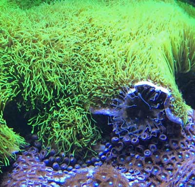 Green star polyps are growing over an Aiptasia and zoanthids