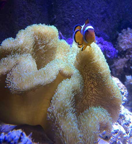 toadstool leather coral and clownfish