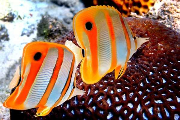 Copperband butterflyfish pair
