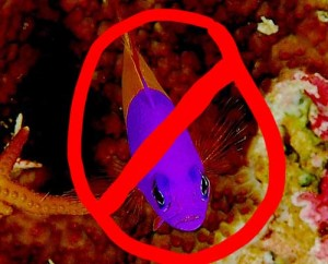 Royal dottyback is often confused with Royal gramma. Not the same fish--avoid