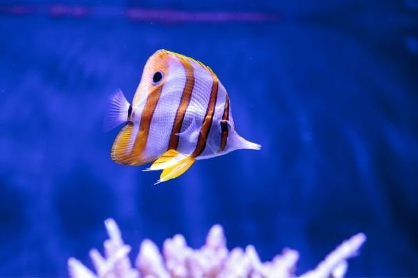Potentially starving copperband butterflyfish