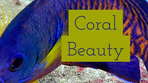 coral beauty angel