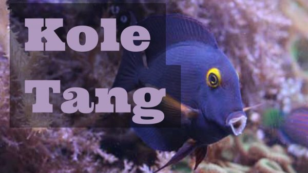 cover image for kole tang page