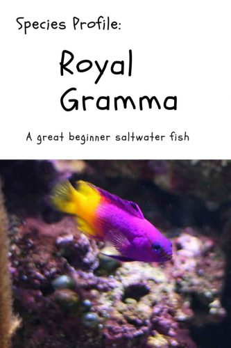 Royal Gramma species profile