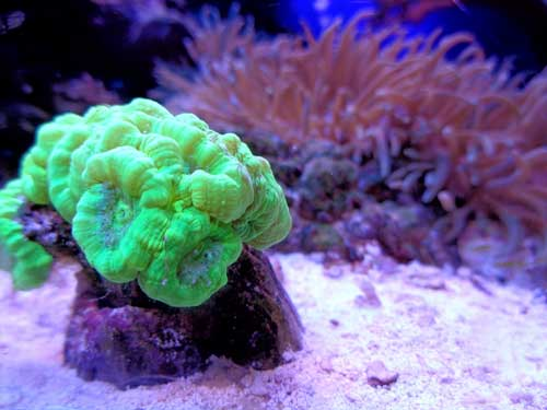 candy cane coral no stripes