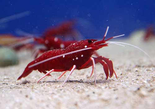 More than one Fire shrimp on sand