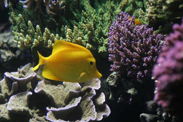 SPS and a yellow tang