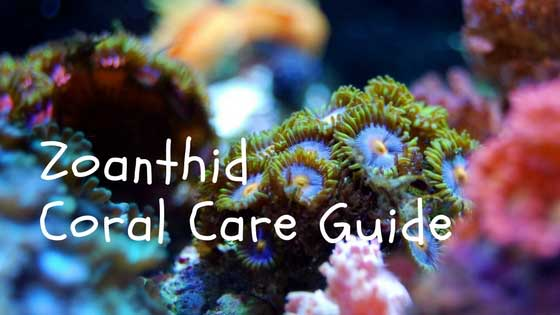 zoanthid coral care guide