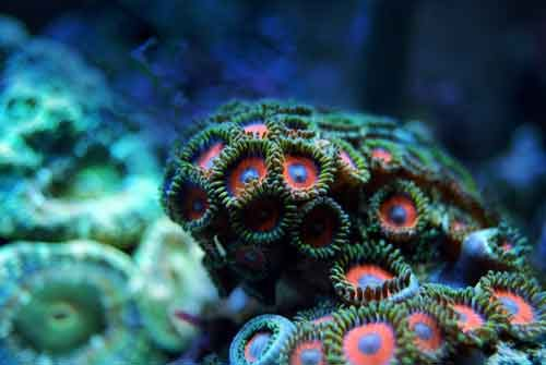 Saltwater aquarium featuring zoanthid corals in the front and a large polyp stony coral in the back