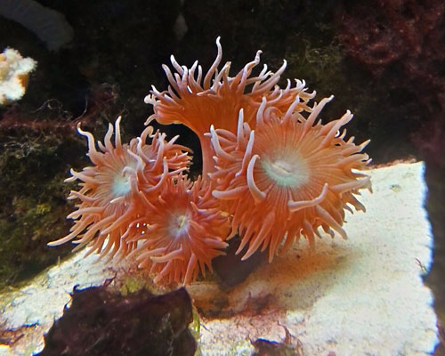 elegance coral Catalaphyllia jardinei placed at bottom of aquarium
