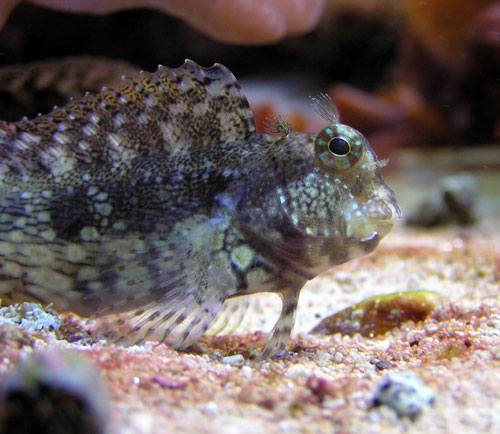 lawnmower blenny from wiki