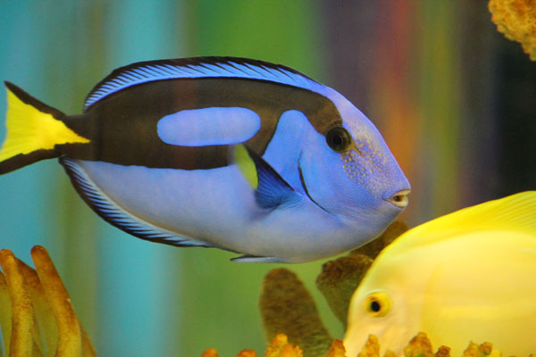 blue hippo tang and a yellow tang