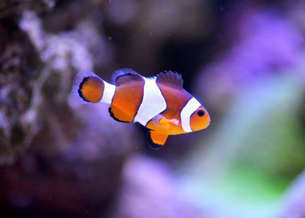 common clownfish most popular saltwater fish