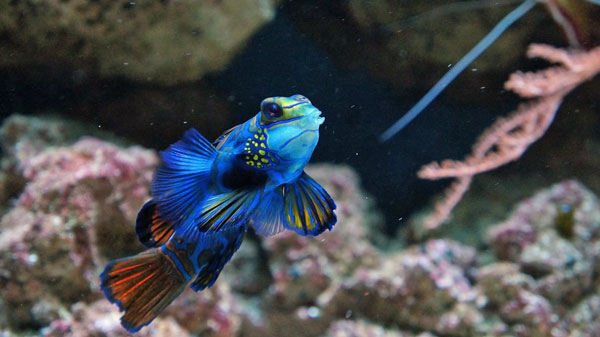 mandarinfish also known as mandarin goby