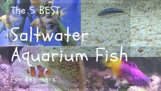 five best saltwater aquarium fish for beginners