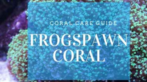 frogspawn coral care guide cover image
