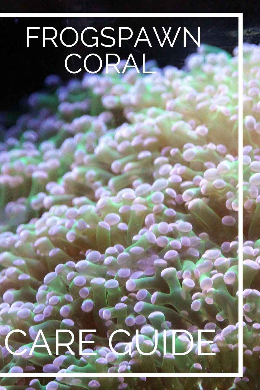 Frogspawn coral care guide