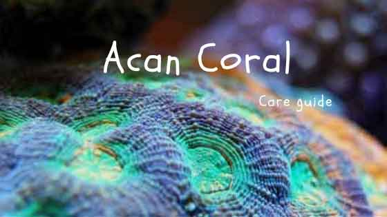 acan coral care guide in a reef tank