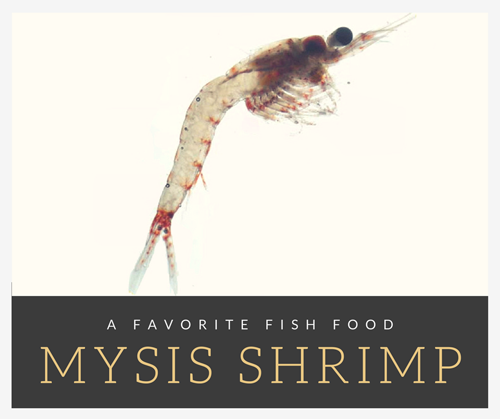 Mysis shrimp are a favorite fish food in my tank
