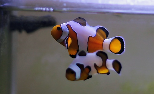 clownfish in a fish only tank