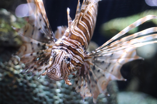 lionfish with pectoral fins extended
