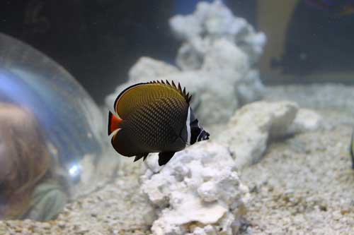 butterfly fish in a marine aquarium