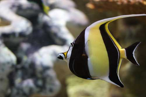 moorish idol has special needs that are best kept by advanced hobbyists only