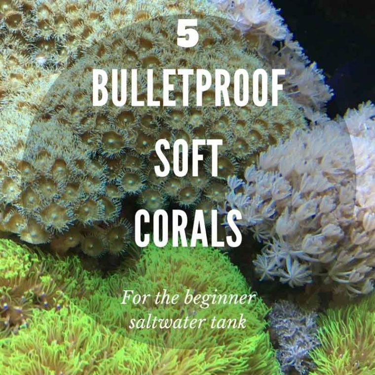 5 bulletproof soft corals for the beginner saltwater tank