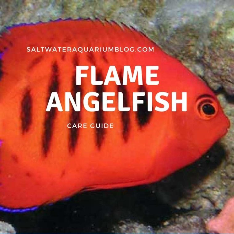 Flame Angelfish Care Guide Cover image