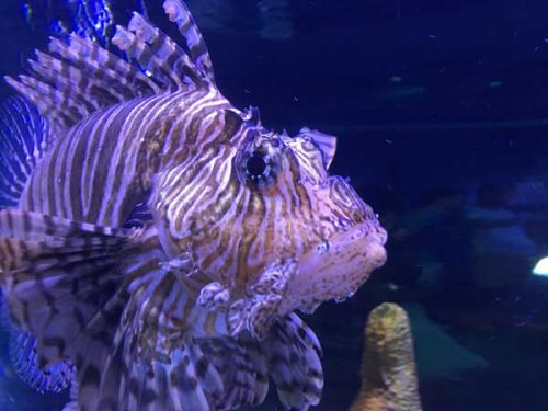 LIonfish are aggressive