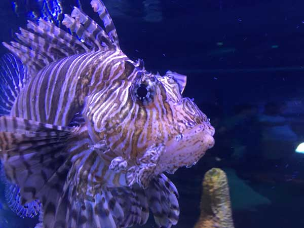 Lionfish are know as aggressive saltwater fish