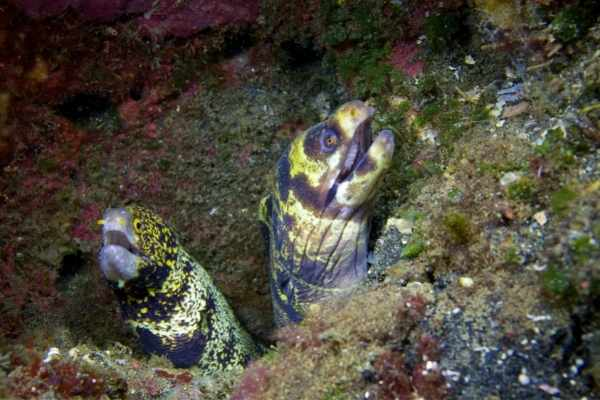 Mating aggression is common among certain aggressive saltwater fish
